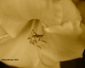 Bug in Daylily3